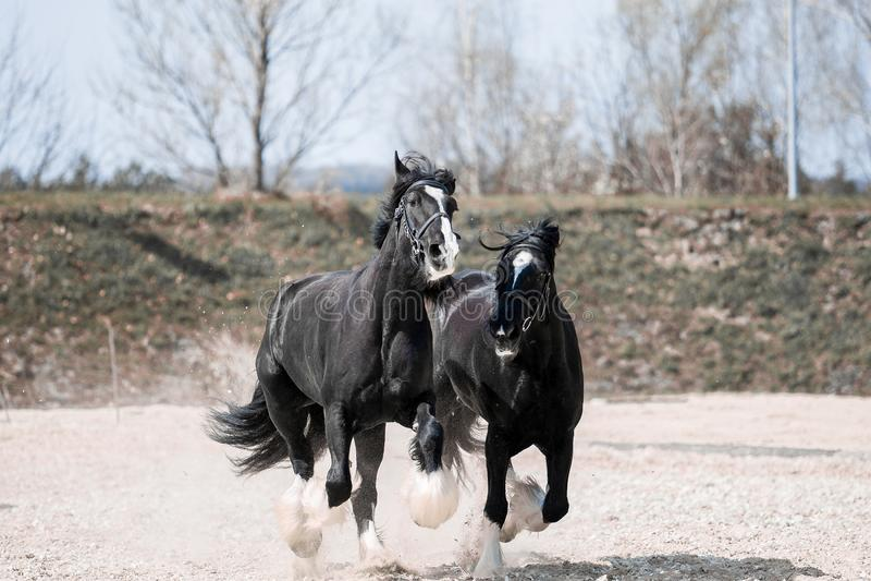 Pferde im Feldsprung mit Geschwindigkeit stockbild