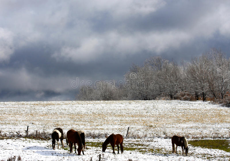 Pferde im Herbst-Schnee stockfoto