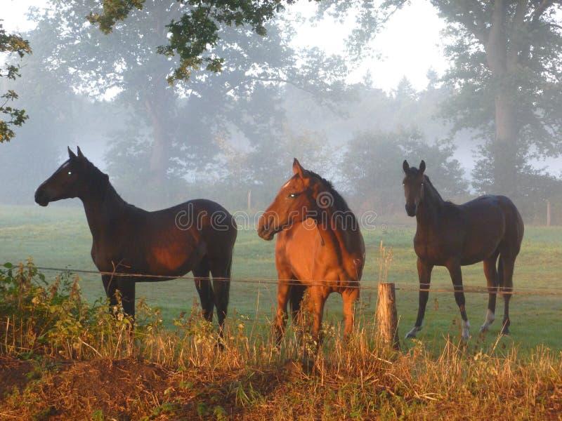 Pferde im morningsun stockfoto