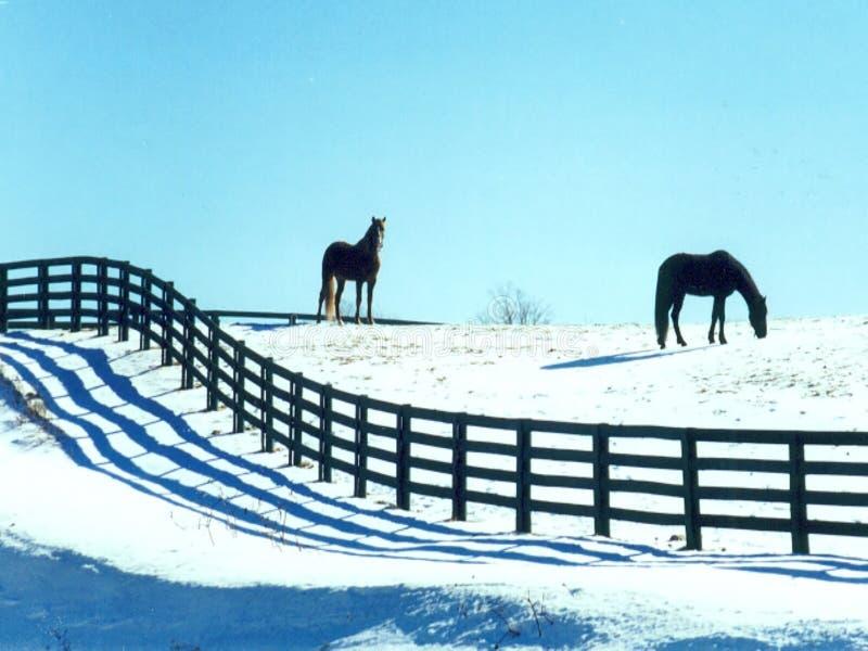 Pferde im Schnee stockbilder