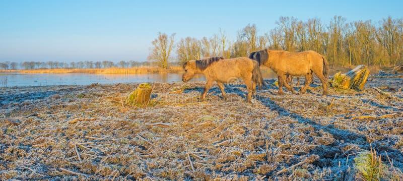 Pferde im Sumpfgebiet im Sonnenlicht lizenzfreie stockfotografie