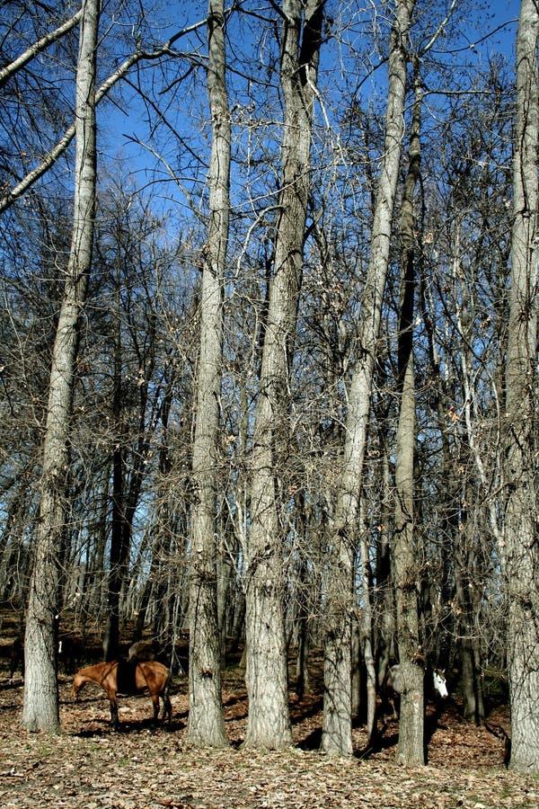 Pferde im Wald stockfotos