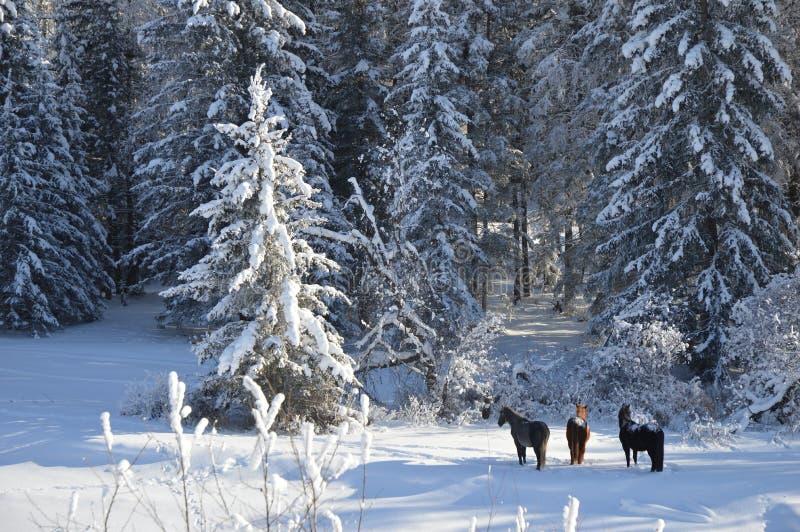 Pferde im Wald auf einem Wintermorgen lizenzfreies stockbild