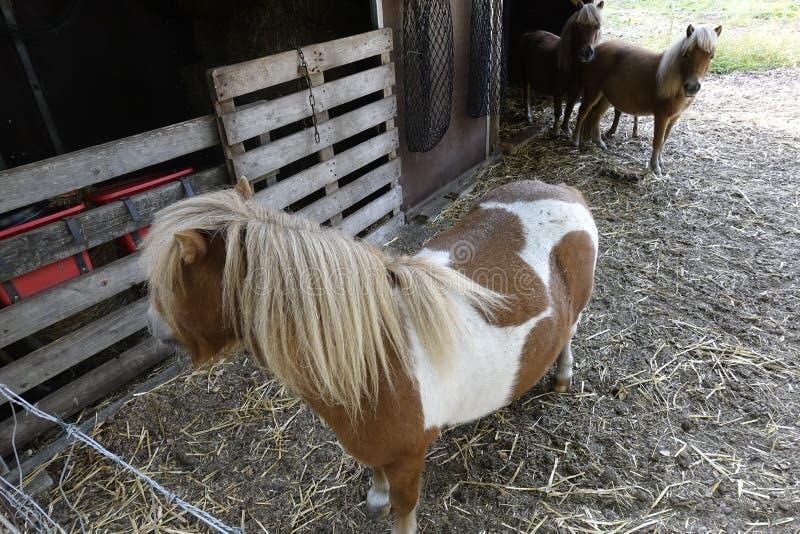 Pferde jest Otternhagener Cumuje zdjęcie stock