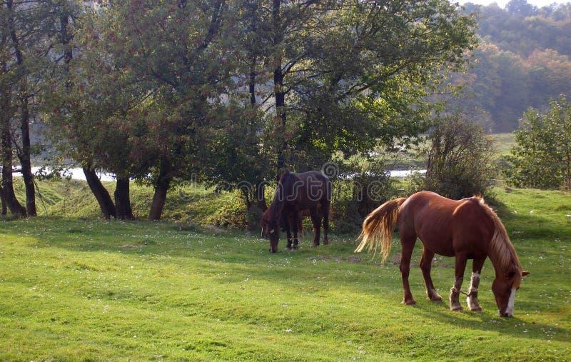 Pferde lassen durch den Fluss weiden lizenzfreies stockbild