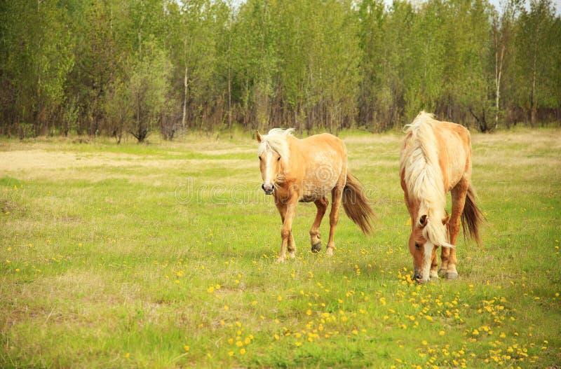 Pferde lassen in einer Wiese weiden stockbild