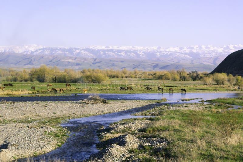 Pferde lassen nahe dem Fluss weiden Berge 'Alatau 'am Fuß von 'Tien Shan ' stockbild