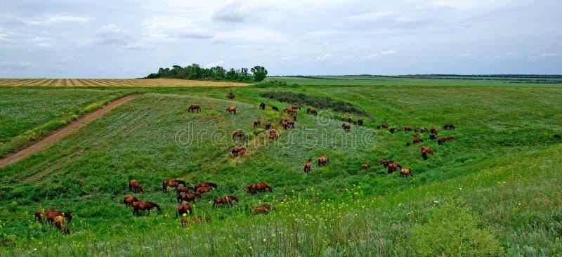 Pferde leben in der Steppe in Herden. stockfoto