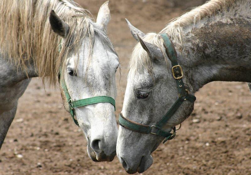 Download Pferde in Lipica stockbild. Bild von brut, paare, tier, grau - 45519