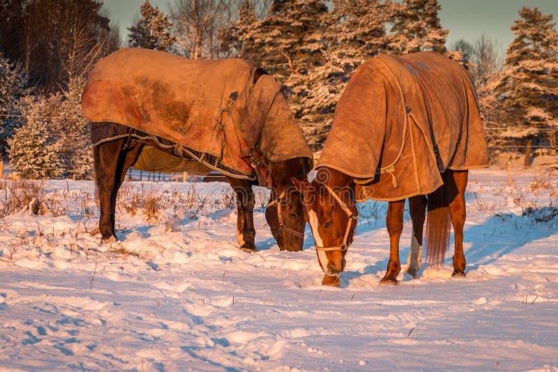Pferde mit Abdeckungen stockbild