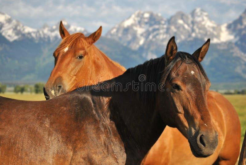 Pferde mit Schnee-mit einer Kappe bedeckten Bergen stockfoto