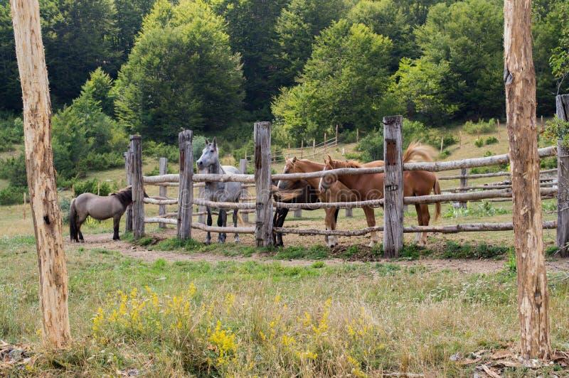 Pferde in Nationalpark Mavrovo stockbilder