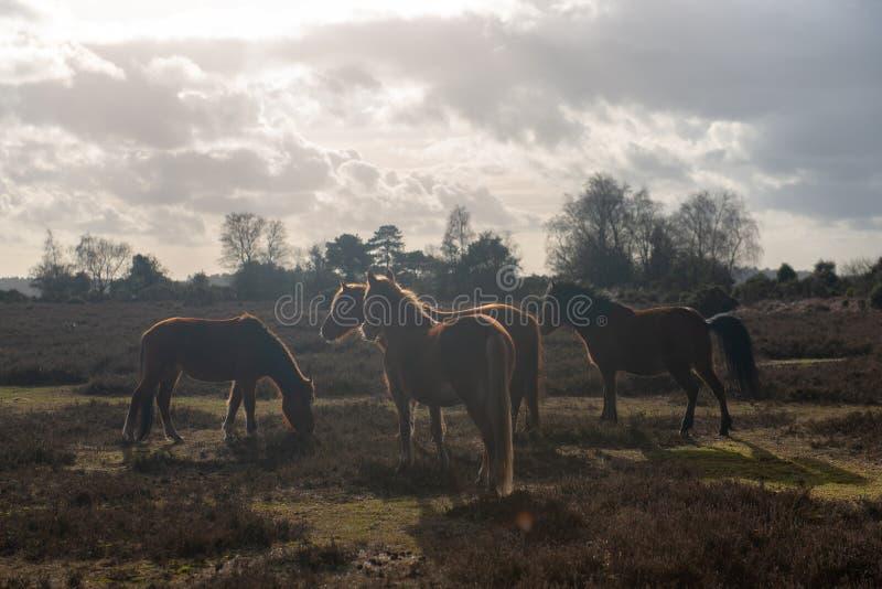 Pferde in neuem Forrest United Kingdom stockfotos