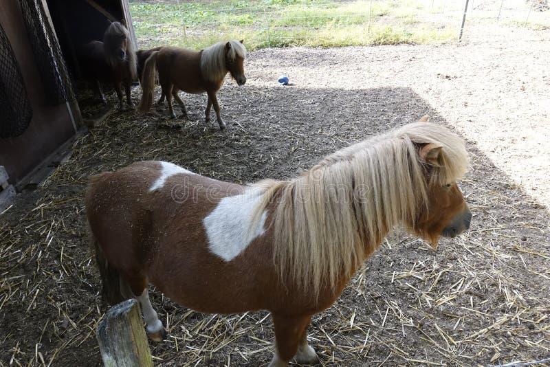 Pferde AM Otternhagener amarrent photo stock
