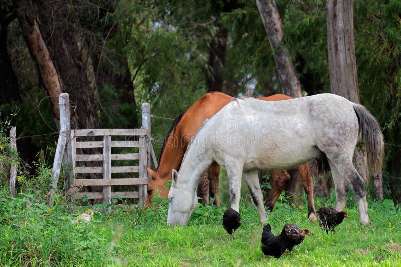 Pferde und Hühner stockbilder