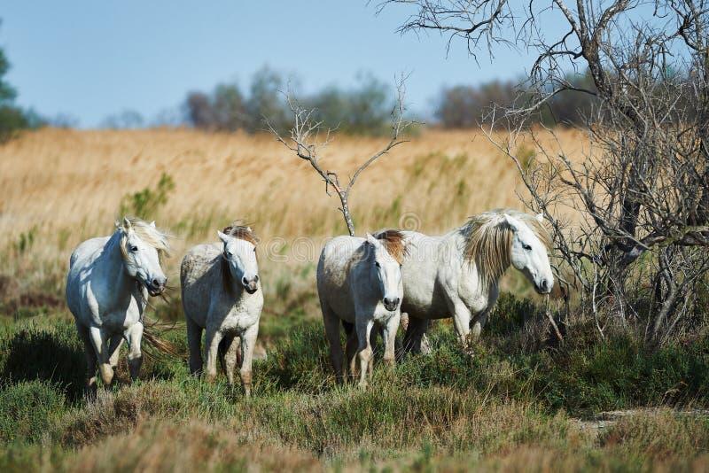 Pferde von Camargue lizenzfreie stockfotos