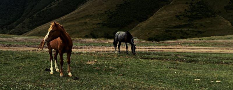 Pferde von Kazbegi stockfoto