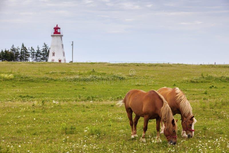 Pferde vor Panmure-Kopf-Leuchtturm auf Prinzen Edward Isla stockfotos