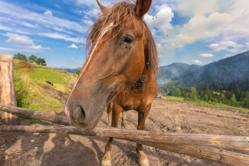 Pferde, ziehend auf Gras an der Hochlandkarpatenweide ein lizenzfreies stockbild