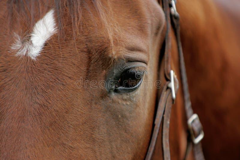 Pferdeartiges Auge stockfotos