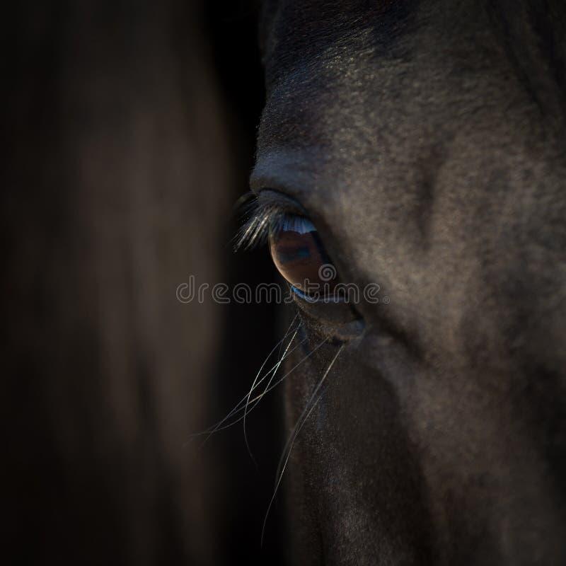 Pferdeaugen-Nahaufnahme Arabischer Rappenkopf Pferdedetail über dunklen Hintergrund stockfotos