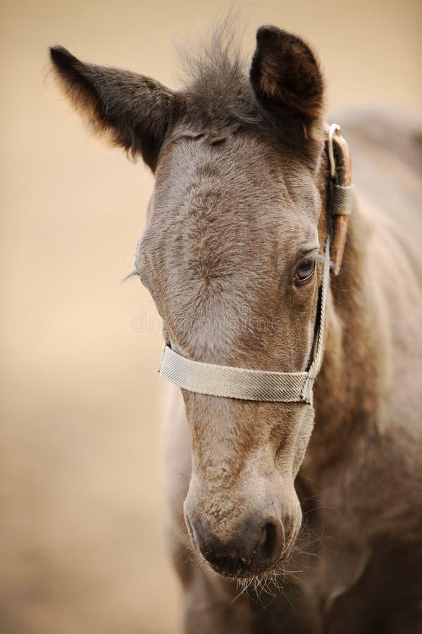 Pferdecoltprofil vom Vorderseite Nettes braunes neugeborenes Fohlen stockbilder