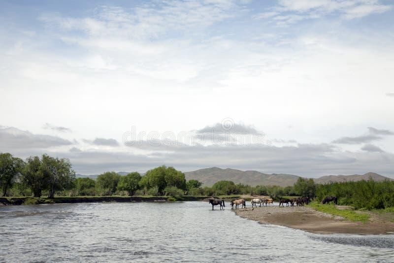 Pferdegetränk vom Fluss in Mongolei stockbilder