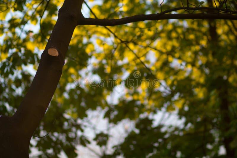 Pferdekastanienbaum am Abend lizenzfreie stockfotografie