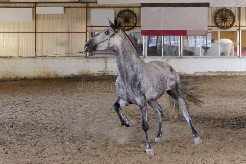 Pferdeläufe auf dem Übungsraum lizenzfreie stockbilder