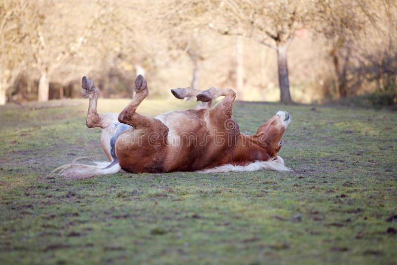 Pferdelage an, die den Spaß, zum im Sand zu rollen hinter und gehabt worden sein würden lizenzfreies stockbild