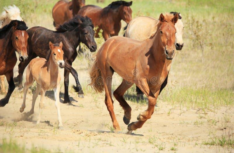 Pferdelauf über dem Feld stockbild