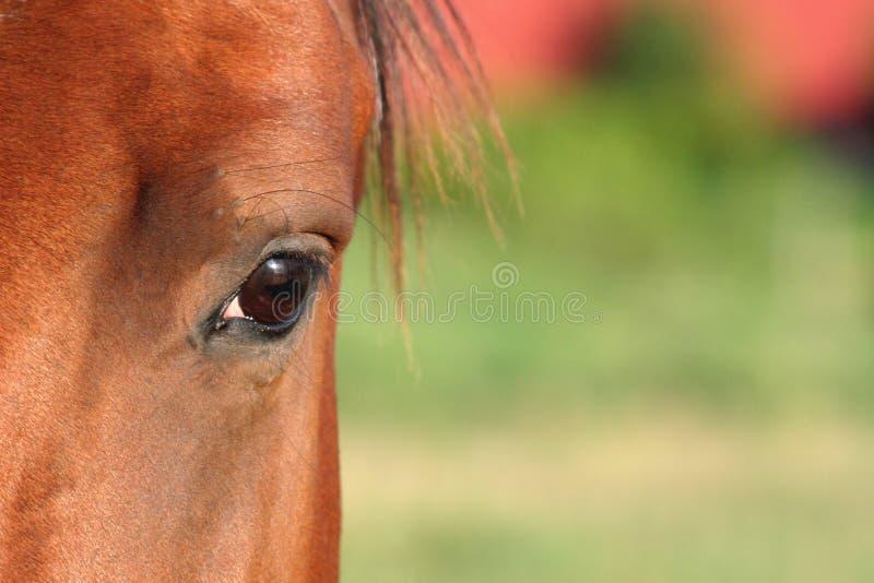 Pferden-Auge stockbilder