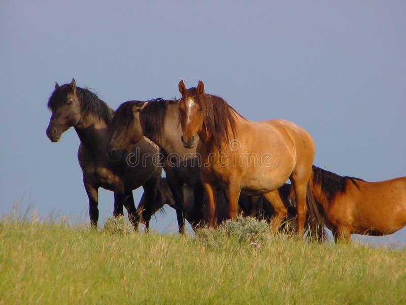 Pferden-Herde stockfotografie