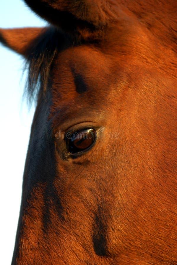 Download Pferden-Kopf stockbild. Bild von auge, reiten, drehzahl - 34323