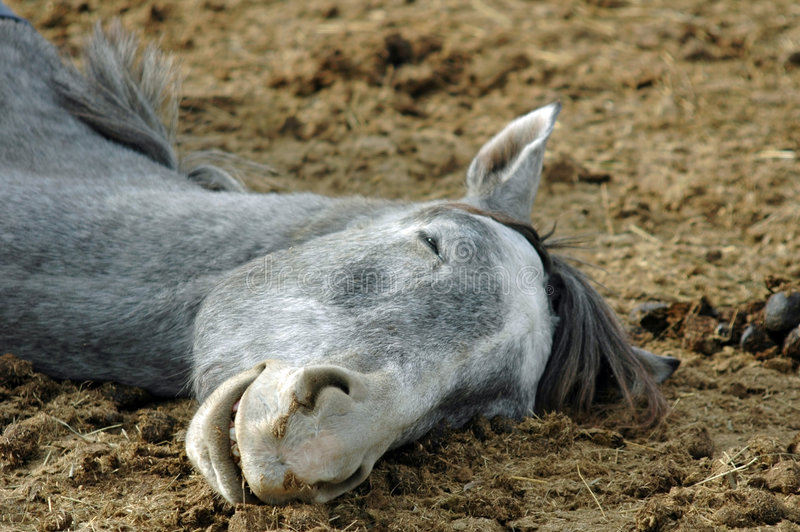 Pferden-Schlafen lizenzfreie stockfotos