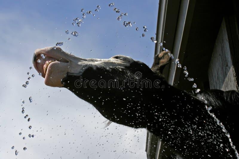 Pferden-Spiel mit Wasser lizenzfreies stockfoto