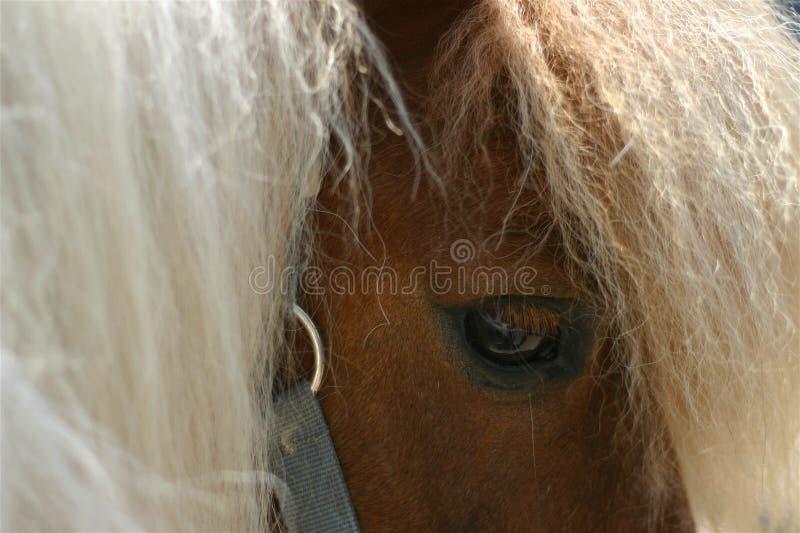 Pferdenauge stockbild