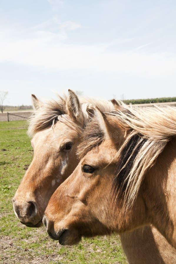 Pferdenköpfe lizenzfreies stockfoto