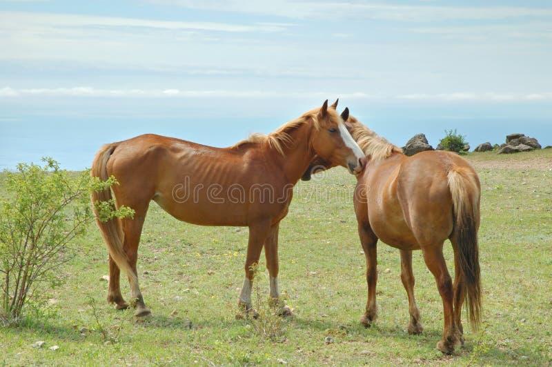 Pferdenpaare stockfotografie
