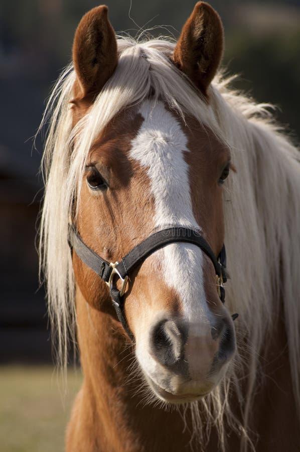Pferdenportrait lizenzfreies stockfoto