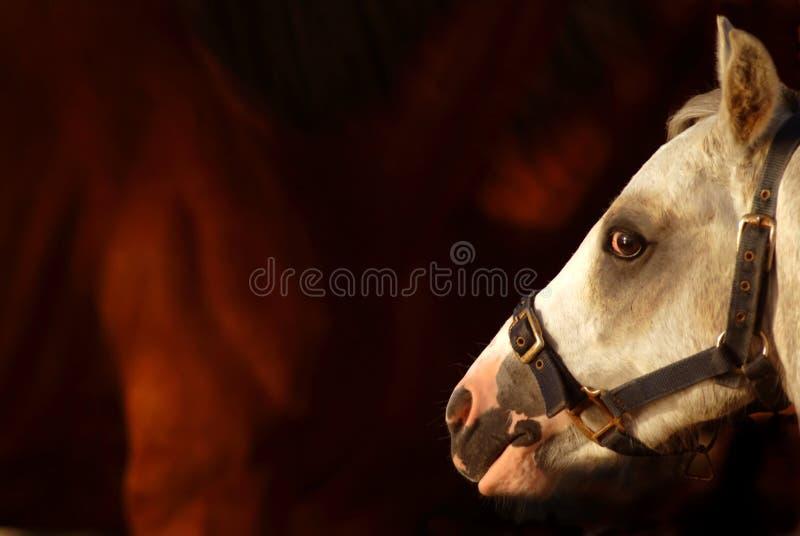 Pferdenprofil lizenzfreies stockbild