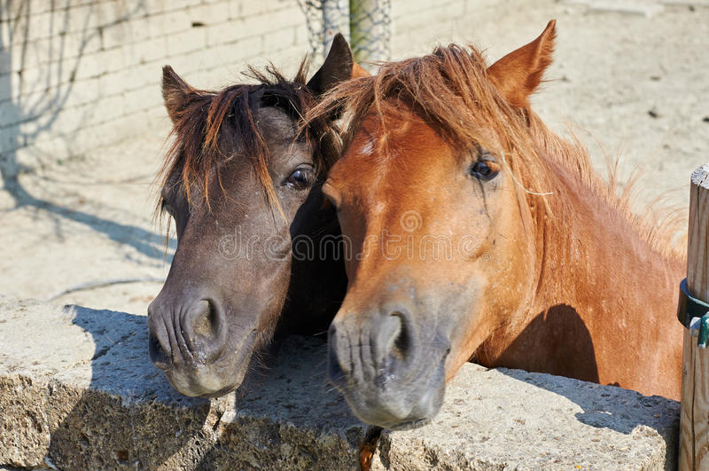Pferdepaare stockfoto