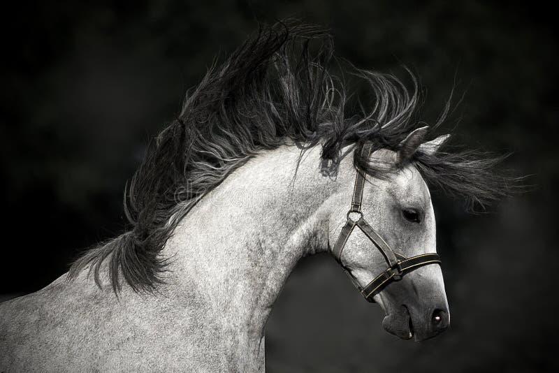Pferdeportrait auf einem dunklen Hintergrund lizenzfreie stockfotografie