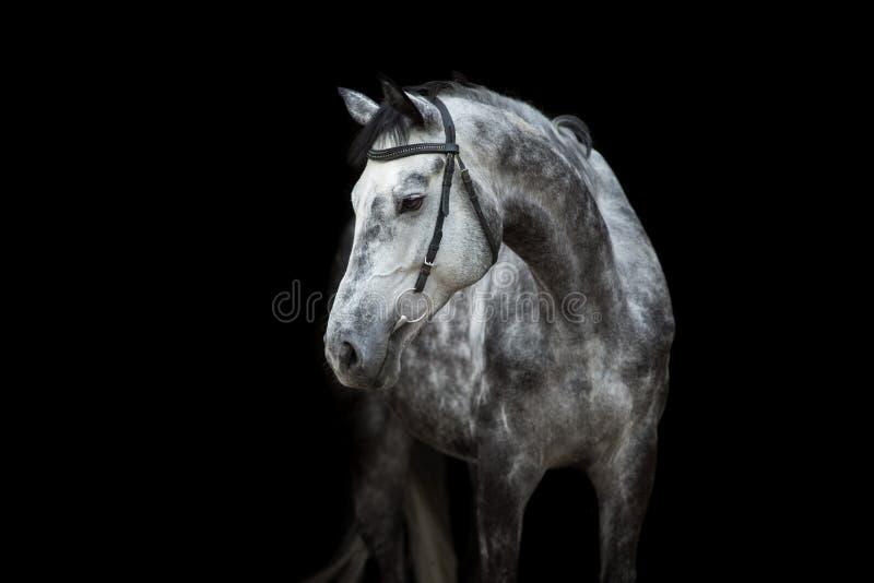 Pferdeportrait auf Schwarzem stockbild