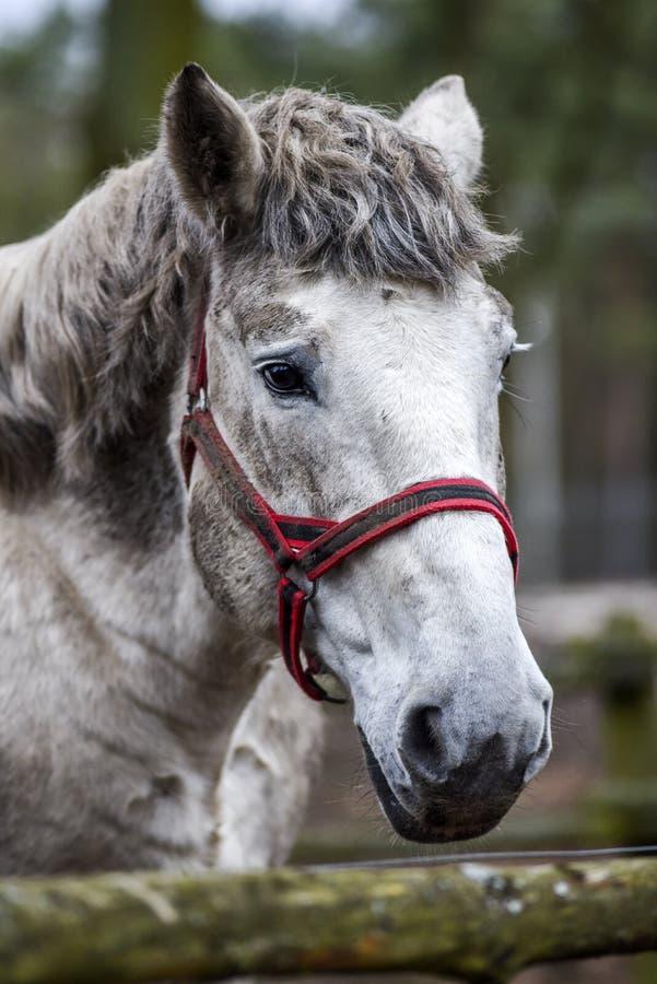 Pferdeportrait im Yard Schimmel ` s Kopf stockbilder