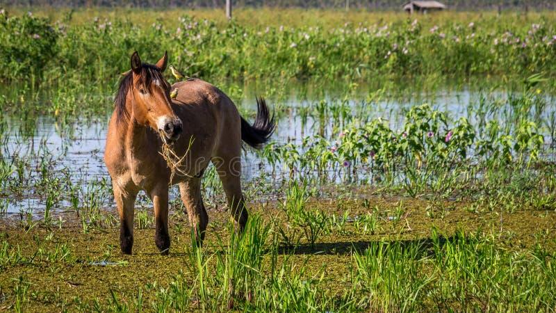 Pferdeportrait mit zwei Vögeln, die auf seiner Rückseite sitzen stockfotos