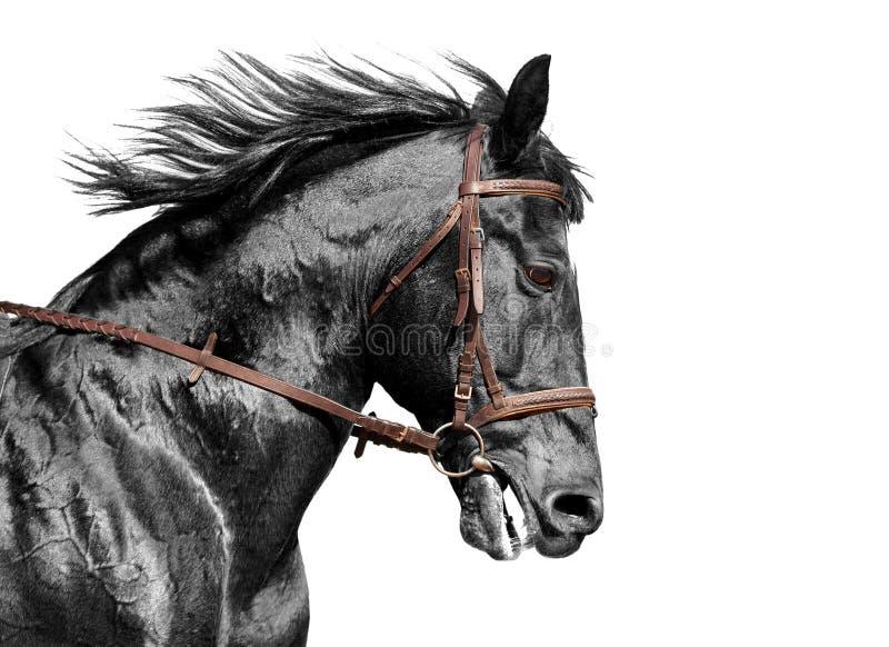Pferdeportrait in Schwarzweiss im braunen Zaum stockbild