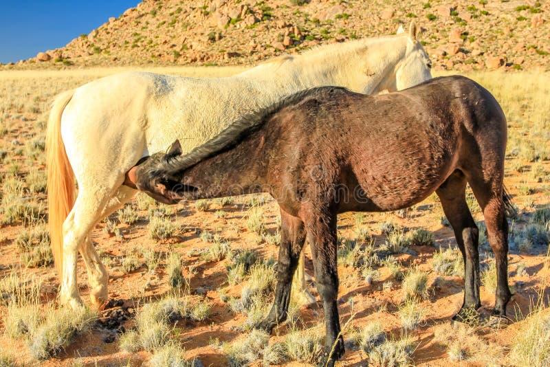Pferdesäuglingsmilch stockfotografie