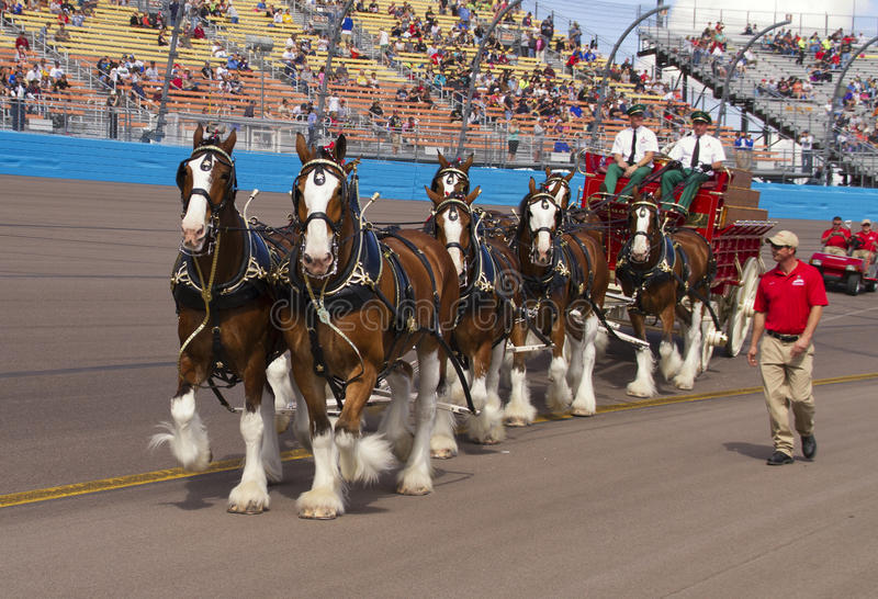 Pferdeteam Budweisers Clydesdale stockfoto