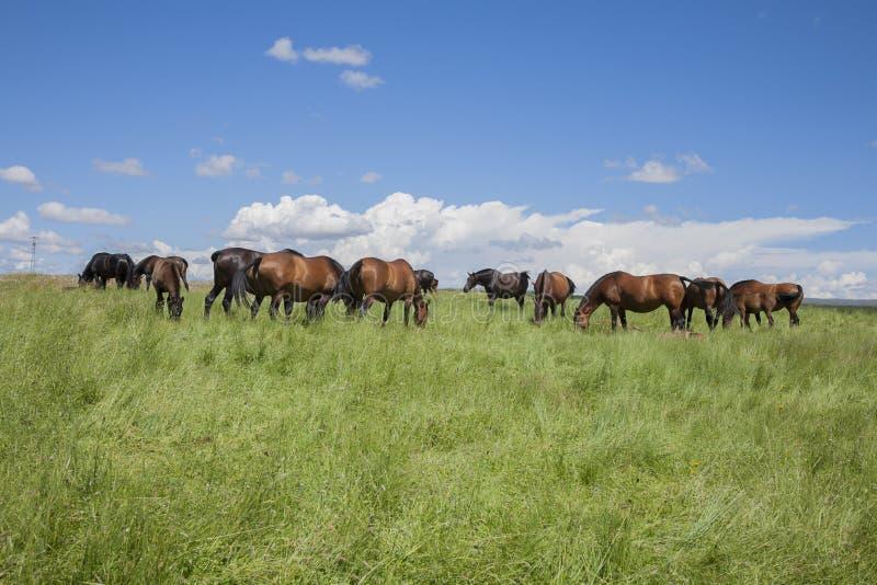 Pferdeviehbestand lizenzfreie stockbilder